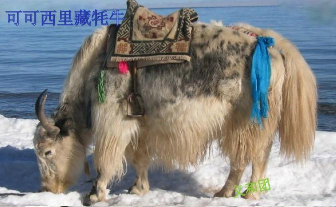 藏族小喇嘛给野生动物