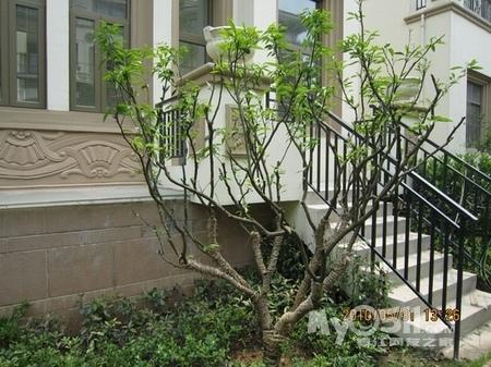 后花园台阶下的橘子树