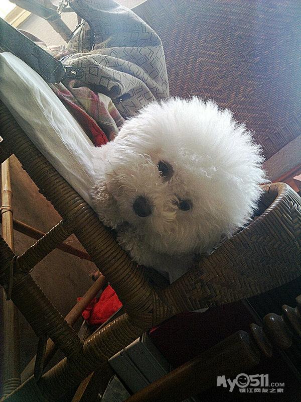 吾家有刚出生的纯种可爱比熊宝宝寻主人啊还有两只