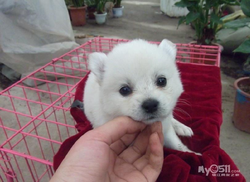 超级可爱的小白狗 - 宠物交易