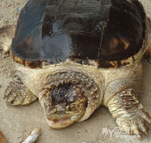 男人大龟龟图片,大龟摩托,大龟王_点力图库