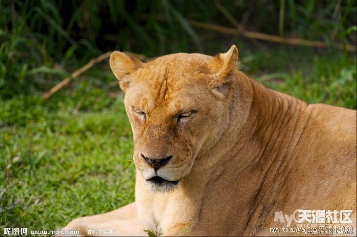 猫科动物:猫科动物的体型排行及简介(多图)