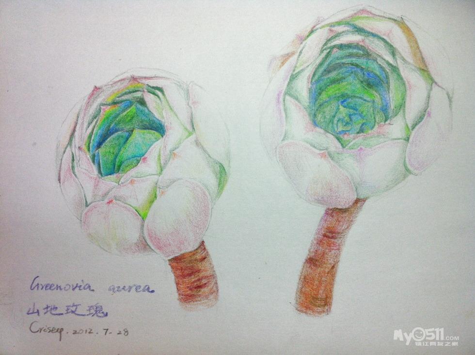 山地玫瑰彩铅手绘