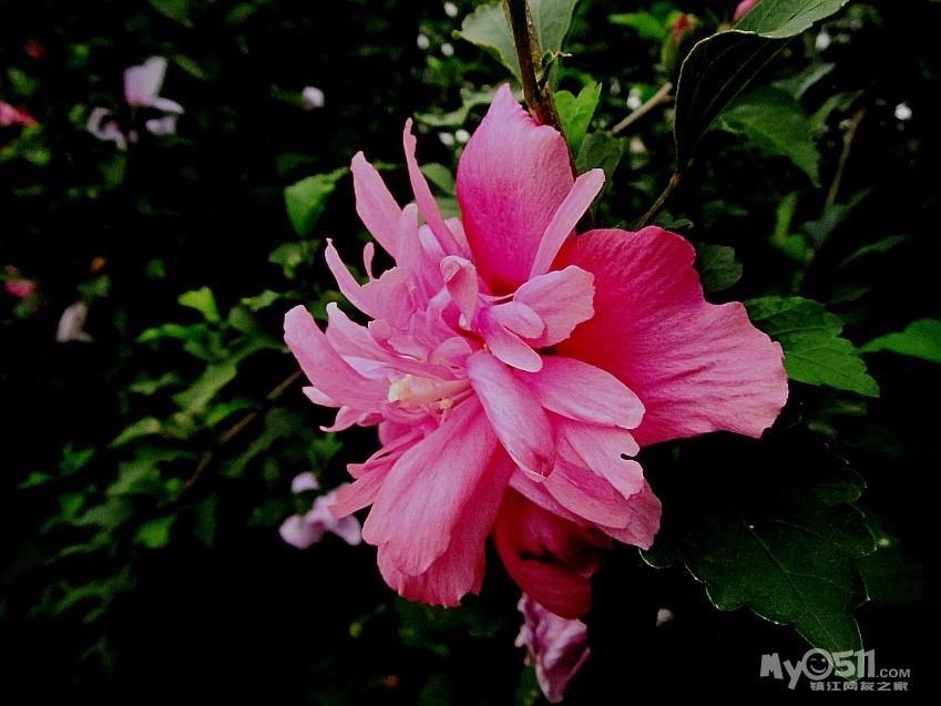 手绘古风木槿花展示