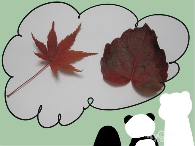 1 五星红旗  很漂亮的红树叶,不知名的,散落在地上,看着漂亮,收了