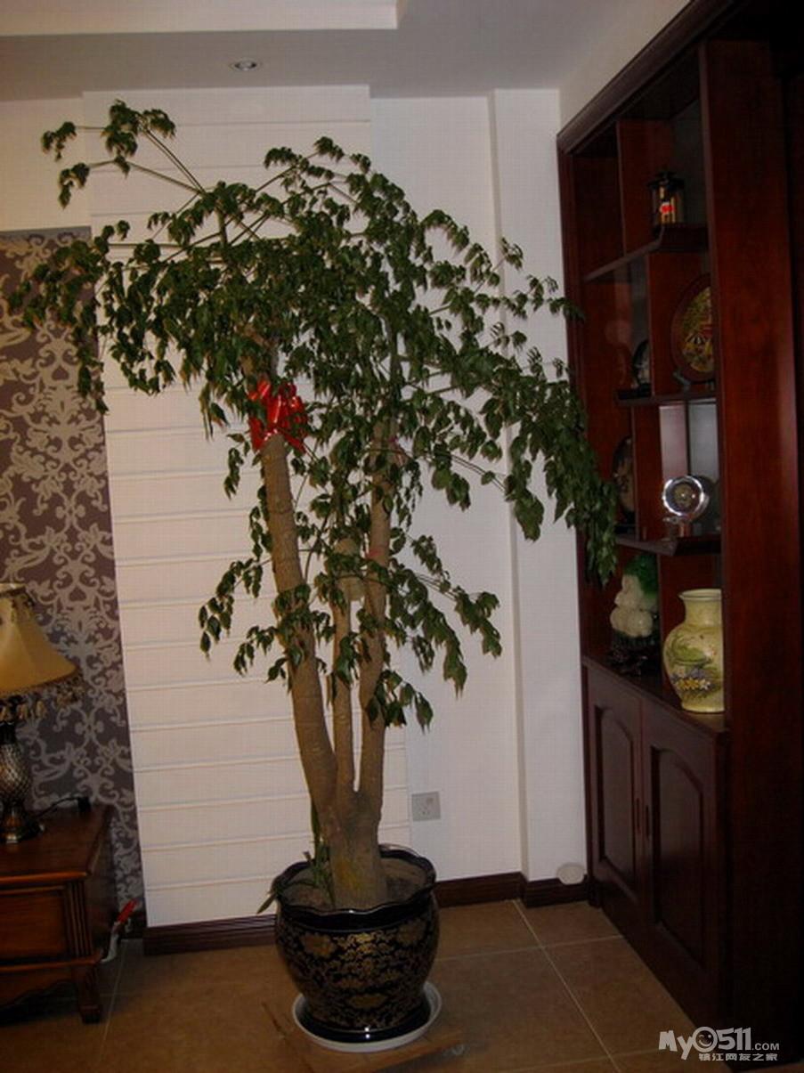 大棵幸福树,大的盆景澳洲杉最适合新家和店堂摆放