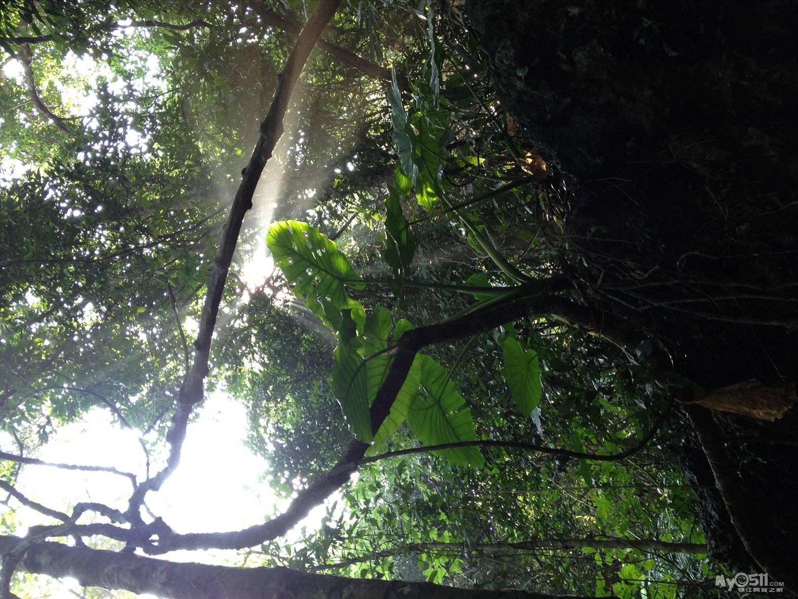 海南保亭风景树