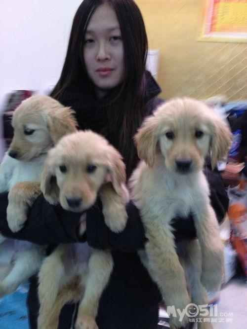 魏玛宠物乐园出售一群超萌超可爱的小金毛的呢