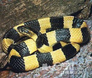蛇真身的样子-蛇年的喜庆蛇模样