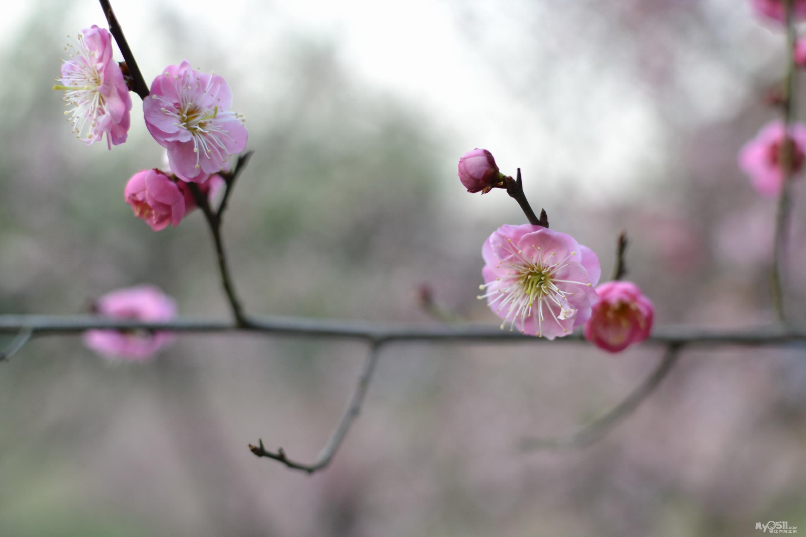 宝塔山下赏梅花