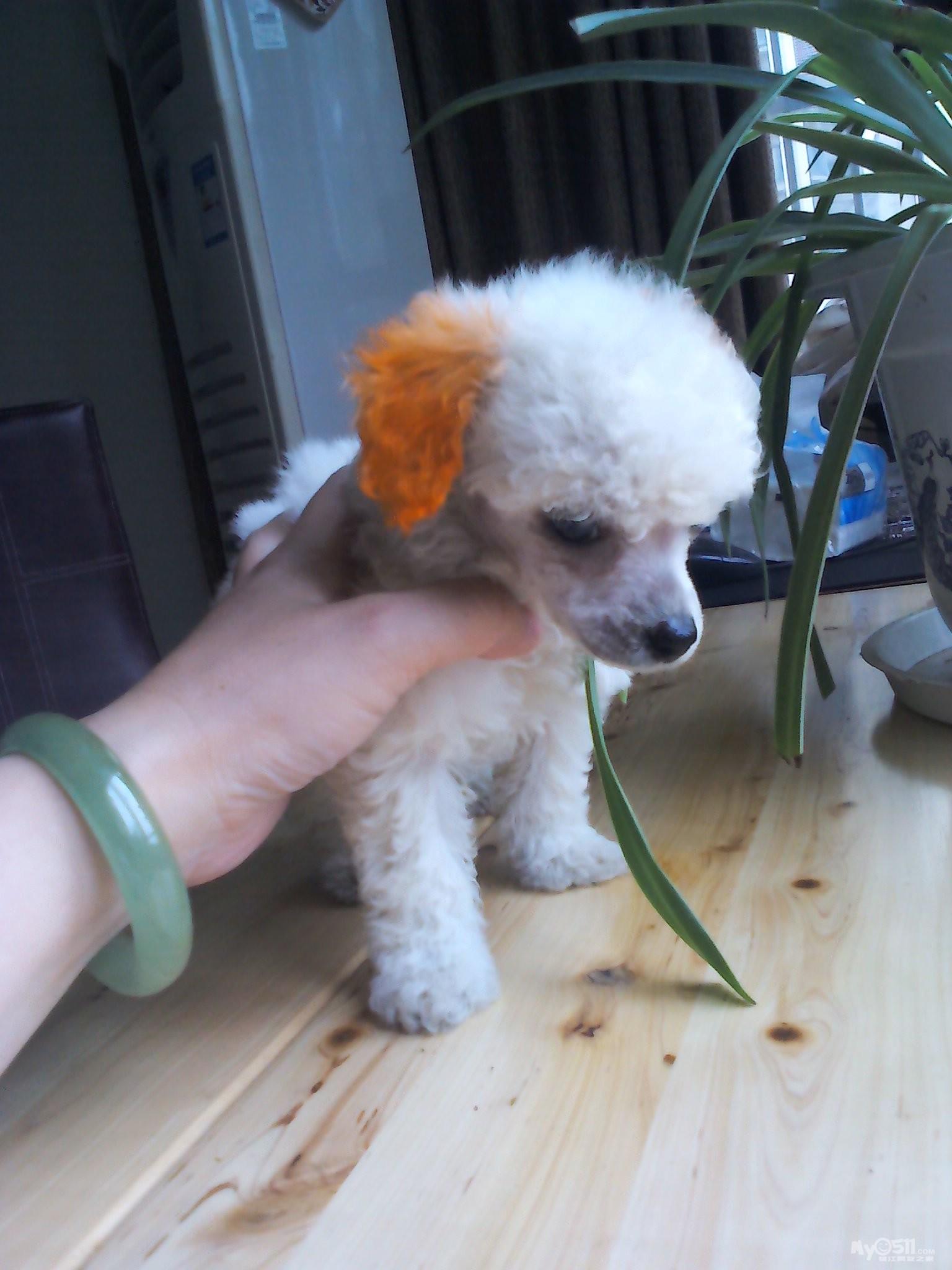 茶杯犬(贵宾)寻找爱心妈咪