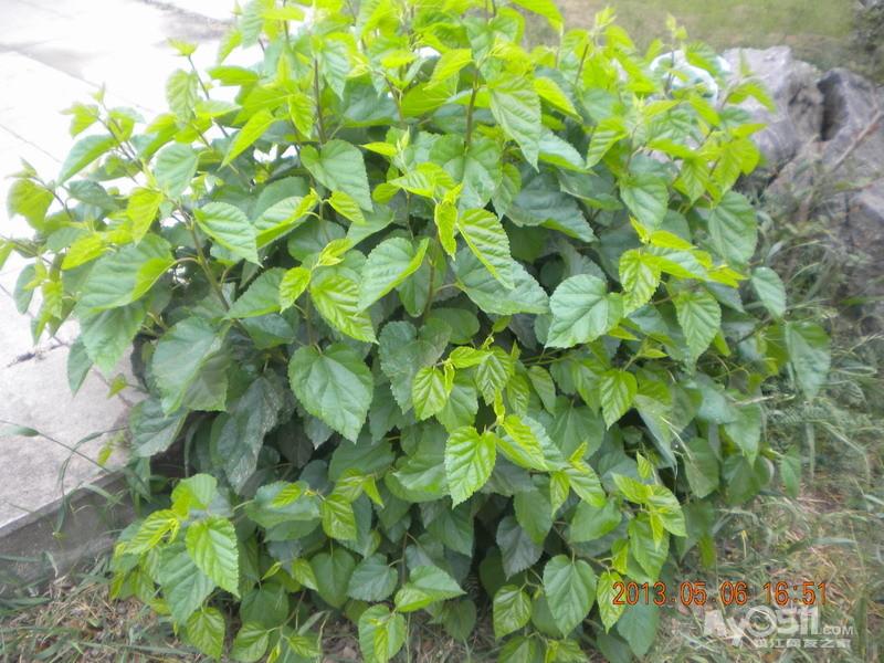 桑叶为桑树的叶子,传统的利用仅是桑叶用作单食性昆虫