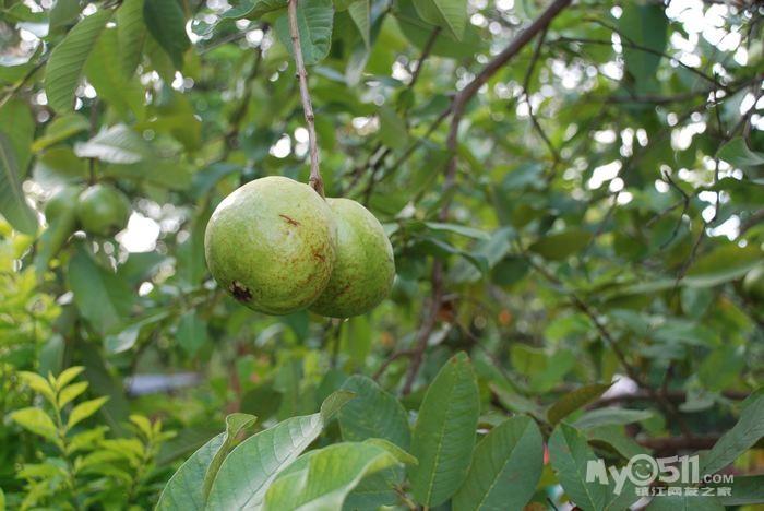 八月初有幸随文化传媒到涠洲岛做了几天香蕉猪.