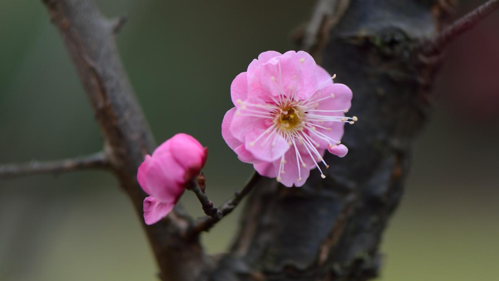 宝塔山的梅花开了,苞多花少